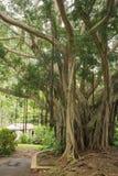 Ansicht eines Banyanbaumes Lizenzfreies Stockfoto