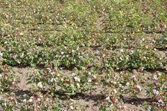Ansicht eines Baumwollfeldes Lizenzfreies Stockbild