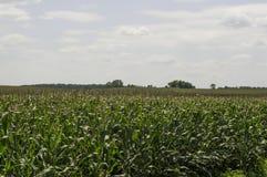 Ansicht eines Mais-Feldes Lizenzfreies Stockbild
