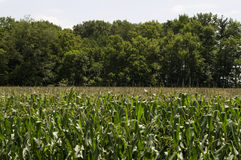 Ansicht eines Mais-Feldes Lizenzfreie Stockbilder