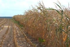 Ansicht eines Maisfeldes mit Braun und ausgetrocknetem cornstalks Zea Mai wegen des Mangels an Wasser lizenzfreie stockfotos