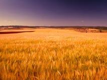 Ansicht eines Weizenfeldes lizenzfreie stockfotos