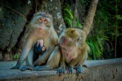 Ansicht im Freien von zwei weiblichen Affemakakenkrabbeessern eine Mutter mit seinem Babystillen Macaca fascicularis, Bereich Stockbild