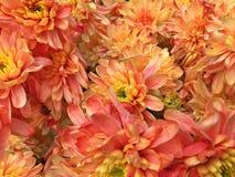 Ansicht vieler orange Chrysanthemen Lizenzfreie Stockfotografie