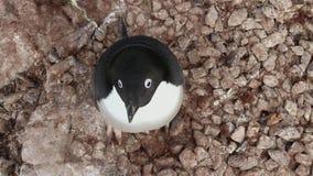 Ansicht von Adelie-Pinguin von oben genanntem, das nahe einem leeren Steinnest an einem Sommertag steht stock video