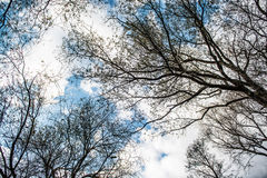Ansicht von blattlosen Treetops vom Boden während des Winters Stockbilder
