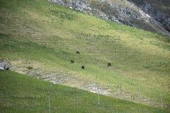 Ansicht von den wilden Pferden, die in den Bergen weiden lassen Lizenzfreie Stockfotos