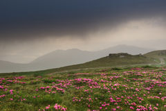 Ansicht von der Oberseite Berg-Knall Iwan Rhododendren auf den Steigungen der Berge im wolkigen Wetter Lizenzfreie Stockfotos