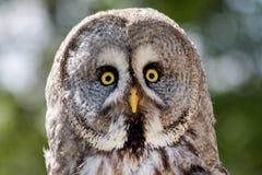 Ansicht von Gray Owl stockbilder