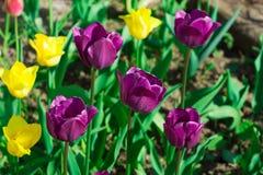Ansicht von mehrfarbigen Tulpen einer Gruppe im Garten lizenzfreie stockfotos