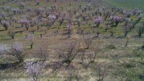 Ansicht von oben von den bloßen Bäumen oder von Sträuchen, die beginnen, auf einem großen Feld im Vorfrühling am sonnigen Tag zu  stock footage