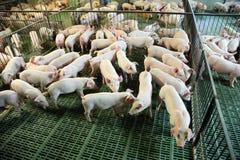Ansicht von oben genanntem eines Zuchtschweinbauernhofes nach innen Lizenzfreie Stockfotografie