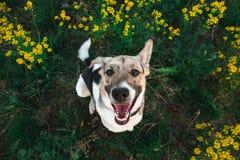 Ansicht von oben am glücklichen nicht reinrassigen Hund mit Stellung und am Betrachten der Kamera, des grünen Grases und des gelb lizenzfreie stockfotos