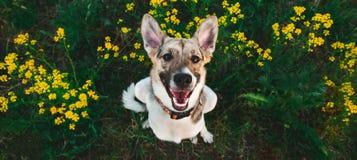 Ansicht von oben am glücklichen nicht reinrassigen Hund mit Stellung und am Betrachten der Kamera, des grünen Grases und des gelb stockfotos