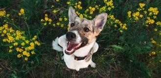 Ansicht von oben am glücklichen nicht reinrassigen Hund mit Stellung und am Betrachten der Kamera, des grünen Grases und des gelb lizenzfreie stockbilder