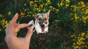 Ansicht von oben am glücklichen nicht reinrassigen Hund mit Stellung und am Betrachten der Kamera, des grünen Grases und des yelo stockfotos