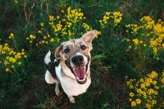 Ansicht von oben am gl?cklichen nicht reinrassigen Hund mit Stellung und am Betrachten der Kamera, des gr?nen Grases und des gelb lizenzfreies stockbild