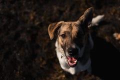 Ansicht von oben am gl?cklichen nicht reinrassigen Hund mit Stellung und am Betrachten der Kamera stockbild