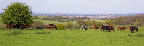 Ansicht von Oxford-Stadt aus dem Land, mit einigen Kühen Stockfoto