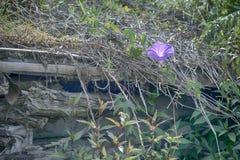 Ansicht von Reben wachsen auf Dachspitze von Landwirt ` s Hütte lizenzfreie stockbilder