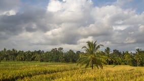 Ansicht von Reisfeldern in Bali Stockfotos