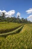 Ansicht von Reisfeldern in Bali Lizenzfreies Stockfoto