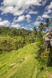 Ansicht von Reisfeldern in Bali Stockfoto