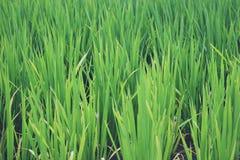 Ansicht von Reisfeldern in Indonesien stockfotografie