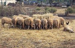 Ansicht von Schafen in einem Bauernhof Lizenzfreie Stockbilder