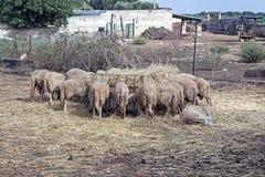 Ansicht von Schafen in einem Bauernhof Lizenzfreies Stockbild