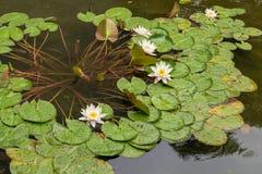 Ansicht von Seerosen mit weißen Blumen in einem Teich stockfoto