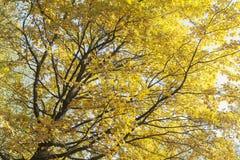 Ansicht von unten über mehrfarbige Blätter auf Autumn Trees in Stockbilder