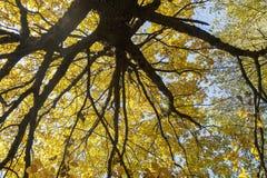 Ansicht von unten über mehrfarbige Blätter auf Autumn Trees in Stockfotografie