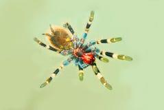 Ansicht von unten der Tarantula-Spinne Lizenzfreies Stockfoto