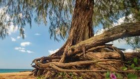 Ansicht von unten des Casuarinaceaebaums im thailändischen Strand lizenzfreies stockfoto