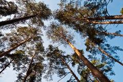 Ansicht von unten des Kieferwaldes Stockbilder