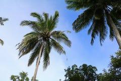 Ansicht von unten des Kokosnussbaums mit Kopienraum addieren Text Stockfotografie