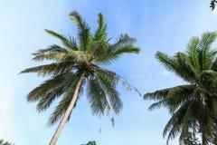 Ansicht von unten des Kokosnussbaums mit Kopienraum addieren Text Stockbild