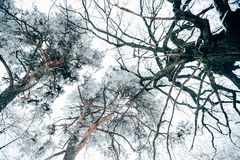 Ansicht von unten des schönen Winterwaldes der Bäume gegen Weiß lizenzfreie stockfotografie