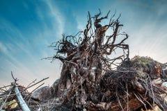 Ansicht von unten des Stumpfs mit Wurzeln Stockfoto