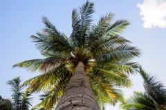 Ansicht von unten einer schönen Palme mit blauem Himmel stockbild