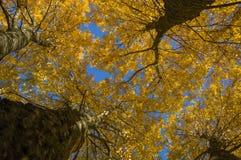 Ansicht von unten von großen Bäumen mit gelben Blättern Lizenzfreie Stockfotografie