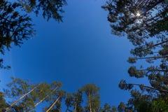 Ansicht von unten von hohen alten Bäumen im Kieferwald lizenzfreie stockbilder