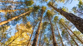Ansicht von unten von Kiefern im Herbstwald, Tomsk, Sibirien stockfotografie