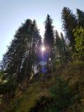 Ansicht von unterhalb über die Kronen von hohen beständigen Kiefern auf Hintergrund des blauen Himmels und der Sonne lizenzfreie stockfotografie