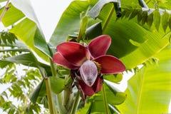 Ansicht von unterhalb von wachsenden Bananen oder von Bananen Stockfotos