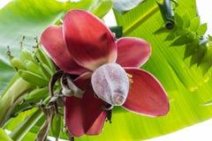 Ansicht von unterhalb von wachsenden Bananen oder von Bananen Lizenzfreie Stockbilder