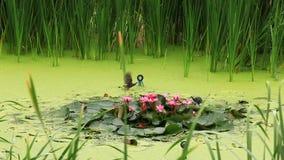 Ansicht von Weißbrust-Kielralle-Vögeln in einem Teich stock video
