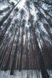 Ansicht von Winterkiefern-Waldwipfeln zur Überdachung mit Schnee im Vordergrund Ansicht- von untenweitwinkelhintergrund lizenzfreies stockbild