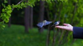 Ansicht von woman& x27; s-Hand, die Korn hält und Vögel einzieht lizenzfreies stockfoto
